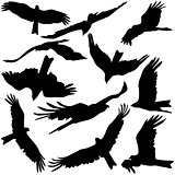 Set black silhouettes of prey eagles on white background. Vector