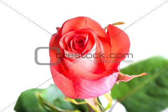 beautiful fresh rose bud closeup