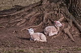 Two babies sheep