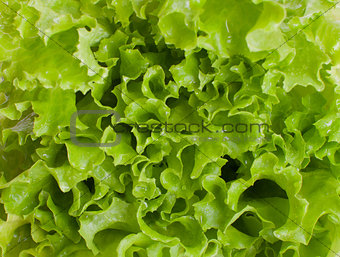 green juicy lettuce