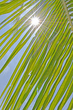 Coconut Leaf with Sunshine and Blue Sky