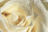 wet white rose