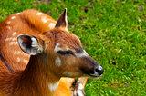 Sitatunga or marshbuck