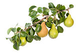 Juicy Pears On A Branch With Leaves
