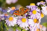 butterfly Aglais io