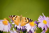 butterfly Vanessa cardui