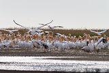 white pelicans (pelecanus onocrotalus)