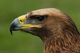 Close-up of golden eagle head in profile