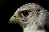 Close-up of gyrfalcon head against black background