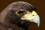 Close-up of Harris hawk head in sunshine