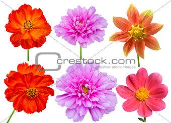dahlias cosmos aster flower