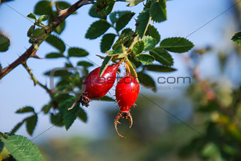Rose hips at a twig