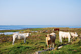 Cattle at seaside