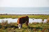 Grazing cow by the coast