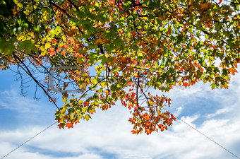 Autumn Leaves in Front of a Blue Sky with Clouds