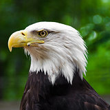 Portrait of an Old Bald Eagle