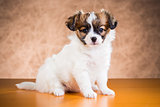 Cute Papillon puppy