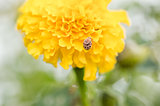 Marigolds or Tagetes erecta flower