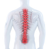 3d illustration of human spine. Isolated. Contains clipping path