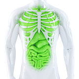 Human internal organs. Isolated. Contains clipping path
