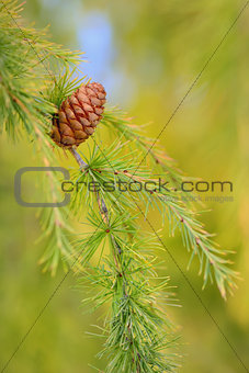 Close up cone on pine