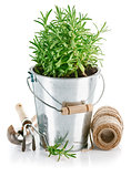 Bush rosemary in iron bucket with garden tools