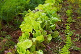 Fresh lettuce in outdoor garden