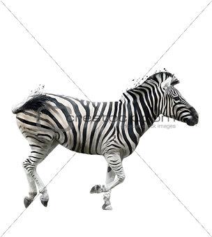 Watercolor Image Of  Zebra