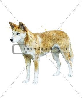 Watercolor Image Of  Australian Dingo