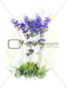 Watercolor Image Of  Lavender Flowers