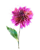 Watercolor Image Of Pink Dahlia