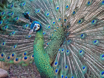 A Male Peacock