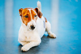 White Dog Jack Russel Terrier