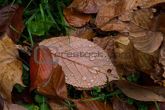 autumn leaf with drops of rain