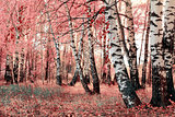 pink birch grove