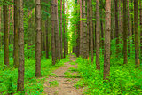 pathway in the forest of tall trees