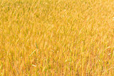 ripening ears of wheat in the Russian summer field