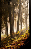 Morning in autumn (fall) forest