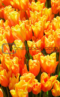 Beautiful red-yellow tulips close-up.