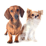 dachshund dog and chihuahua