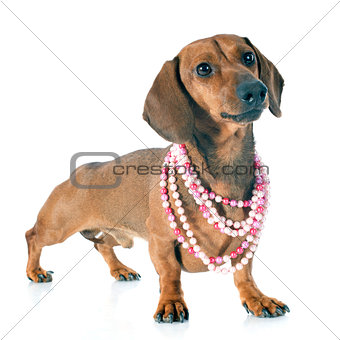 dachshund doga and collar