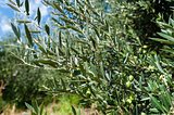 Olive tree branch with ripe green olives