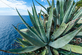 Agave by the sea in Croatia