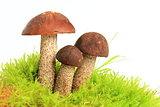 Mushrooms (Birch bolete)