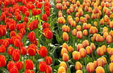 War of tulips