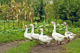 Flock of white domestic geese