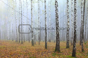 Grove of birch trees and dry grass in early autumn