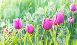 Little pink tulips.