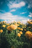 Marigolds or Tagetes erecta flower vintage