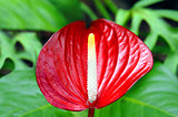 Another Red Anthurium